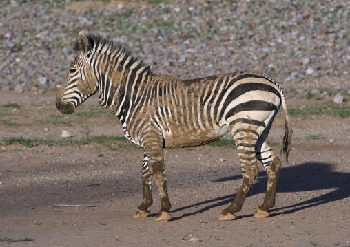 Hartman's Mountain Zebra, Grootberg, Namibia