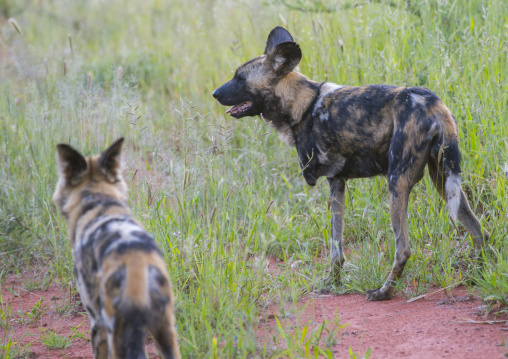 Lycaons, Okonjima, Namibia