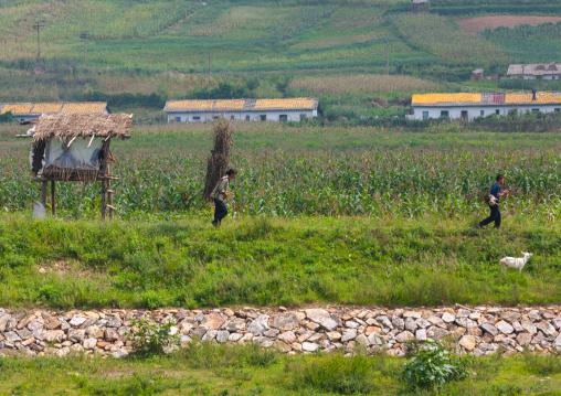 North Korean farmers carrying wood, North Hwanghae Province, Sariwon, North Korea