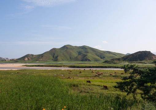 Cows grazing green fields, Kangwon-do, Kumgang, North Korea
