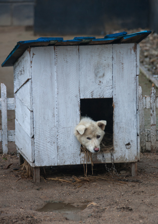 Dog inside a kennel, South Hamgyong Province, Hamhung, North Korea