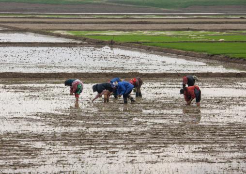 North Korean farmers working in a paddy field, South Pyongan Province, Chongsan-ri Cooperative Farm, North Korea