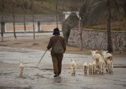 North Korean woman with goats in the street, North Hwanghae Province, Kaesong, North Korea