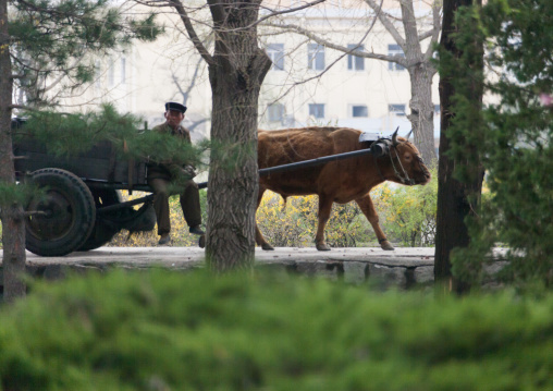 North Korean farmer with his ox cart, North Hwanghae Province, Kaesong, North Korea