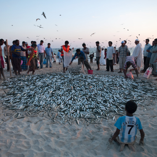 View Of Fishermen Back From Fishing Collecting Sardines Poured On The Beach With Sea Gulls Flying Around, Salalah, Oman