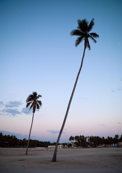 Palm Trees, Salalah, Oman
