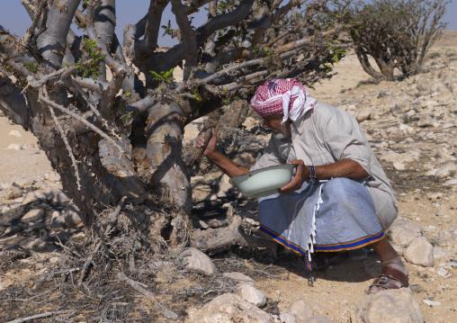 Man Using Mansaha To Cut The Tree For Collecting Frankincense, Wadi Dawkah, Oman