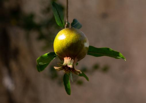 Pomegranate fruit on the tree, Jebel Akhdar, Sayq, Oman