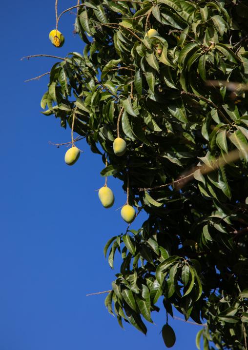 Mango tree with fruits against the sky, Ad Dakhiliyah Region, Al Hamra, Oman