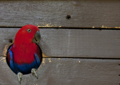Colorful eclectus parrot, National Capital District, Port Moresby, Papua New Guinea