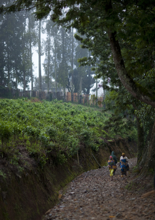 Tea plantations in gisakura village - rwanda