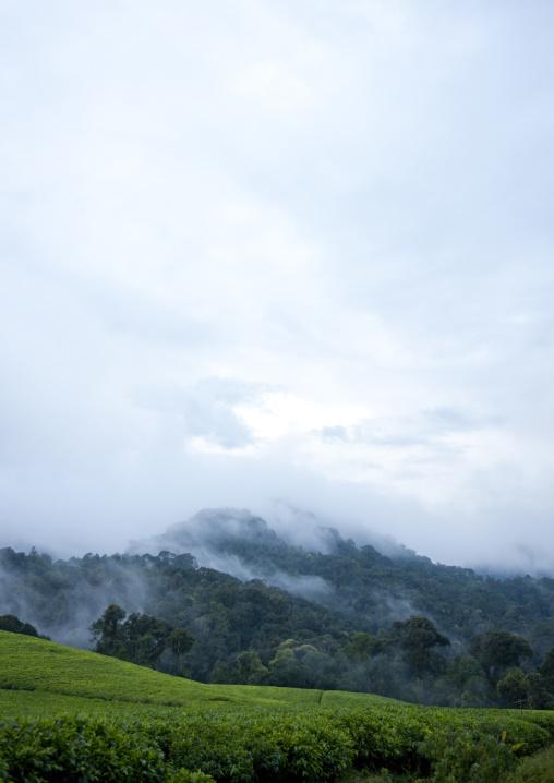 Tea plantations in the fog, Nyungwe Forest National Park, Gisakura, Rwanda
