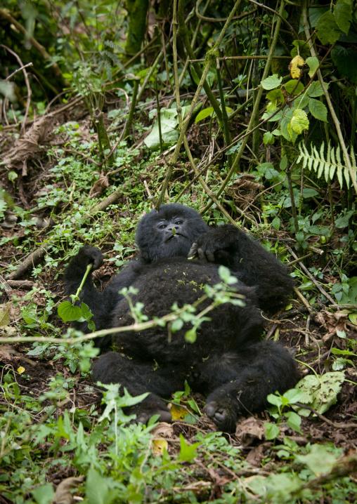 Gorilla lying in the jungle of the volcanoes national park, Northwest Province, Rehengeri, Rwanda