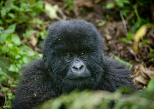 Baby gorilla  in volcanoes national park - rwanda