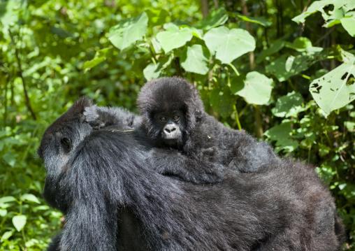 Mother and baby gorillas  in volcanoes national park - rwanda
