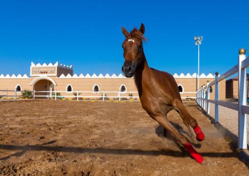 Arabian horse running in Alhazm stud, Najran Province, Khubash, Saudi Arabia