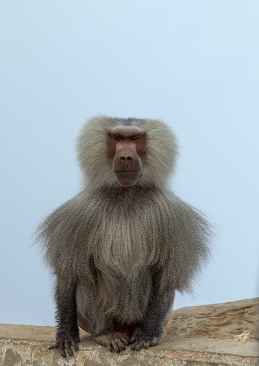 Baboon in the fog, Asir province, Abha, Saudi Arabia