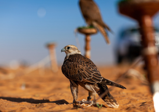 Falcons in the desert, Al-Jawf Province, Sakaka, Saudi Arabia