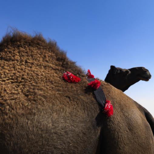 Camels in the market, Riyadh Province, Riyadh, Saudi Arabia
