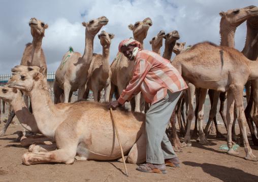 Camel trading in the livestock market, Woqooyi galbeed region, Hargeisa, Somaliland