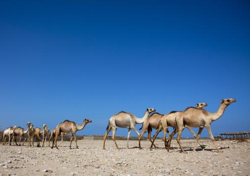 Camels from berbera camel farm walking in a row, Berbera, Somaliland