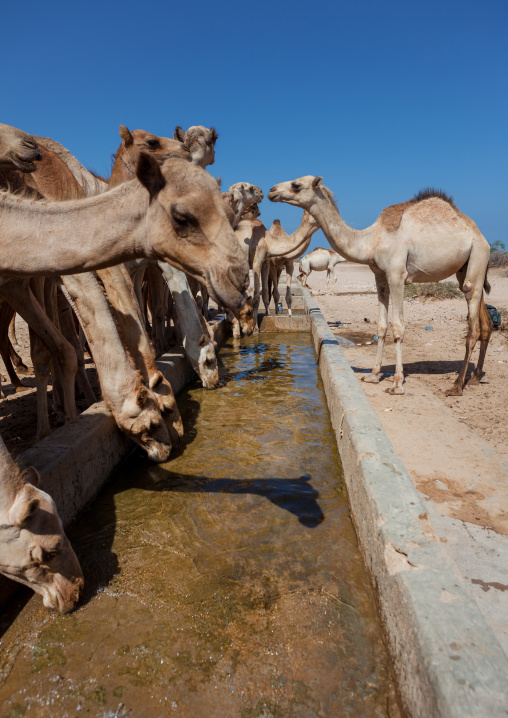 Camels drinking in a row in a farm, North-western province, Berbera, Somaliland
