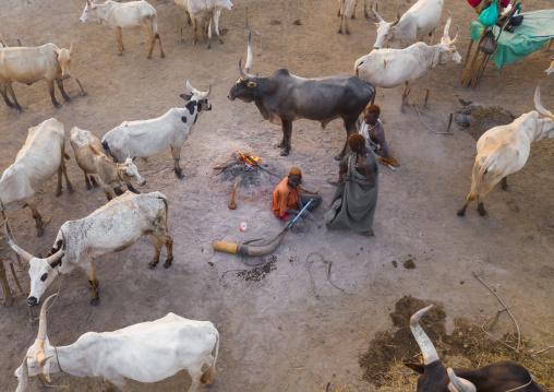 Aerial view of long horns cows in a Mundari tribe cattle camp, Central Equatoria, Terekeka, South Sudan