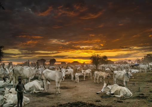 Long horns cows in a Mundari tribe camp, Central Equatoria, Terekeka, South Sudan