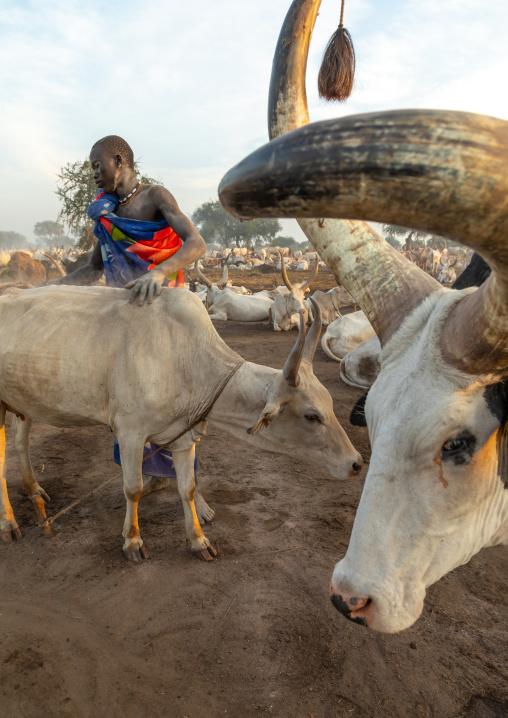 Mundari tribe man taking care of the long horns cows in a camp, Central Equatoria, Terekeka, South Sudan