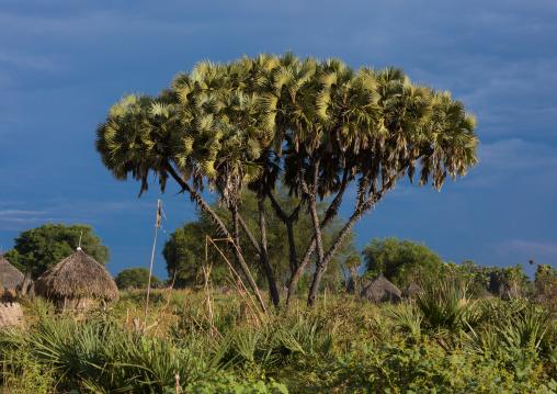 Traditional Mundari tribe village with doum palms, Central Equatoria, Terekeka, South Sudan