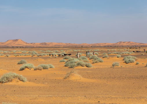 A herd of cows  in the desert, Nubia, Old Dongola, Sudan