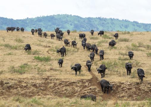 Tanzania, Arusha Region, Ngorongoro Conservation Area, cape buffalos (syncerus caffer) migration