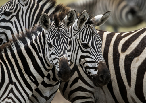 Tanzania, Arusha Region, Ngorongoro Conservation Area, a group of zebras (equus burchellii)