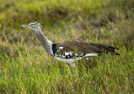 Tanzania, Arusha Region, Ngorongoro Conservation Area, kori bustard (ardeotis kori)