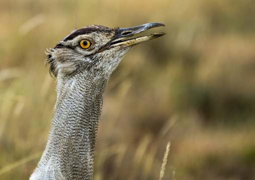 Tanzania, Arusha Region, Ngorongoro Conservation Area, kori bustard (ardeotis kori) head