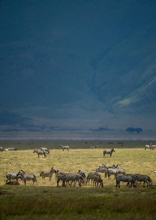 Tanzania, Arusha Region, Ngorongoro Conservation Area, zebra (equus burchellii)
