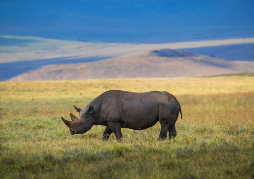 Tanzania, Arusha Region, Ngorongoro Conservation Area, black rhinoceros (diceros bicornis) in the plain