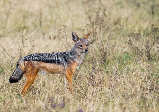 Tanzania, Arusha Region, Ngorongoro Conservation Area, black-backed jackal (canis mesomelas)