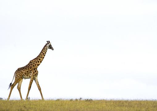 Tanzania, Arusha Region, Ngorongoro Conservation Area, giraffe (giraffa camelopardalis)