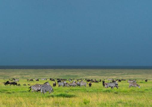 Tanzania, Mara, Serengeti National Park, zebra and wildebeest graze on lush grasses
