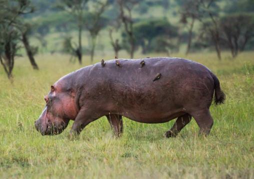 Tanzania, Mara, Serengeti National Park, oxpeckers on hippopotamus (hippopotamus amphibius)