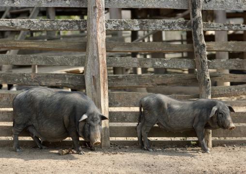 Pigs in bor kai village of thelahu tribe, Thailand