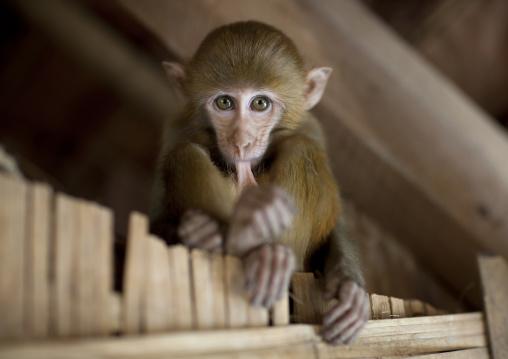 Pet monkey in a karen village, North thailand