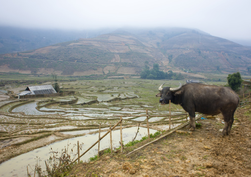 Buffalo in front of terrace paddy fields, Sapa, Vietnam