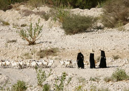 Three Sheperd Women With High Hats Walking Behind Their Goats, Hadramout,yemen
