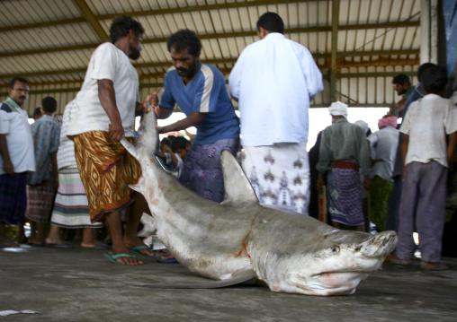 Men Dragging A Shark In Al Hodeidah Fish Market, Yemen