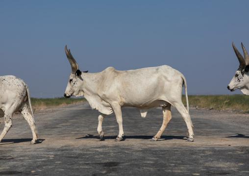 Cows crossing a road, Afar region, Semera, Ethiopia