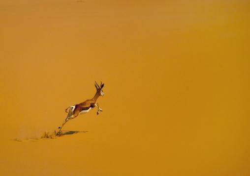 Springbok Jumping, Namib Desert, Angola