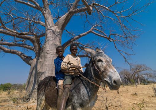 Mudimba tribe boys riding a donkey in front of a baobab, Cunene Province, Kuroca, Angola