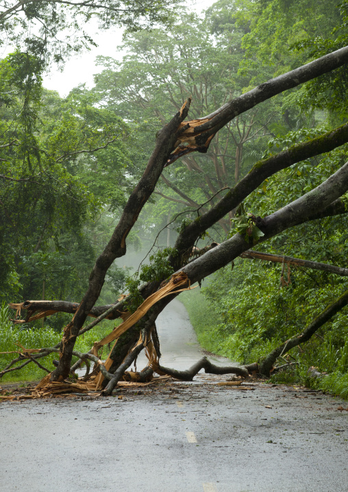 Uprooted Tree In N Dalatando Botanical Garden, Angola